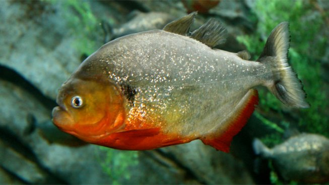 Man Admits Smuggling Nearly 40,000 Piranhas