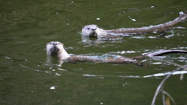 Unusual Yosemite Sight: River Otters