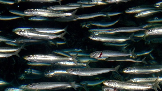 Monterey Open Sea Exhibit: Now With More Sardines