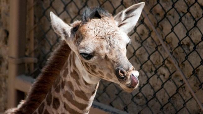 Meet Chad, Santa Barbara's Baby Giraffe
