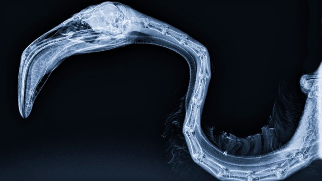 Animal X-Rays: Santa Barbara Exhibit Debuts