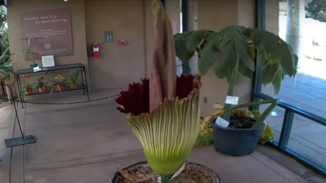Scentennial, The Huntington's Corpse Flower, Soon to Stink