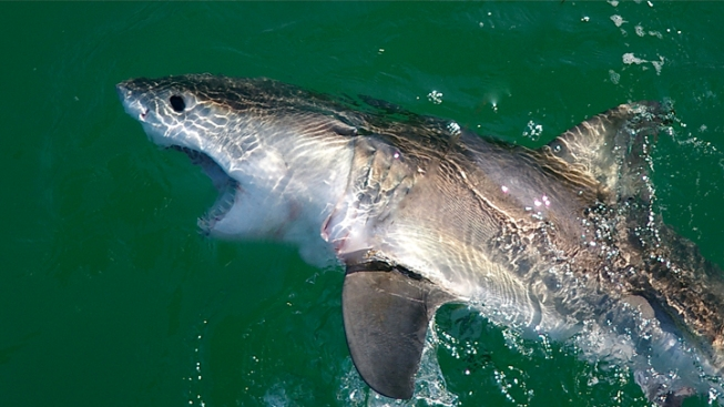 Two Young Great White Sharks Set Free