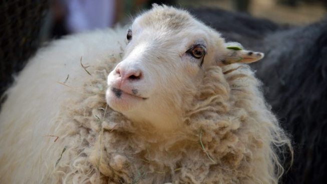 LA Zoo: Springtime Sheep Shearing
