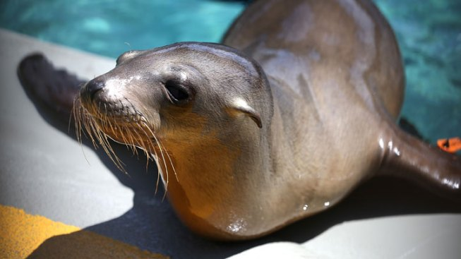 Cause of Southern California Sea Lion Pup Strandings to Be Investigated