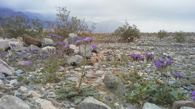 Death Valley 'Super Bloom' Possible