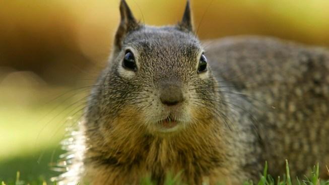Bubonic Plague Exposure Found in San Jacinto Mountains Squirrels