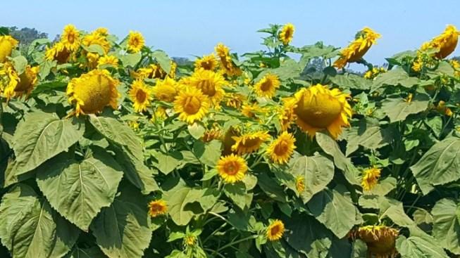 Roam the Tanaka Farms Sunflower Maze
