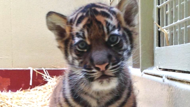 SF Zoo Releases First Video of New Tiger Cub
