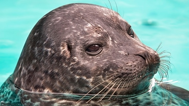 Toby Continued: Aquarium's Star Seal Pup Goes on View