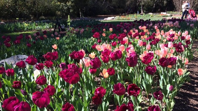 Tulips Pop at Descanso Gardens