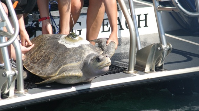 Rehabilitated Sea Turtle Returned to the Pacific