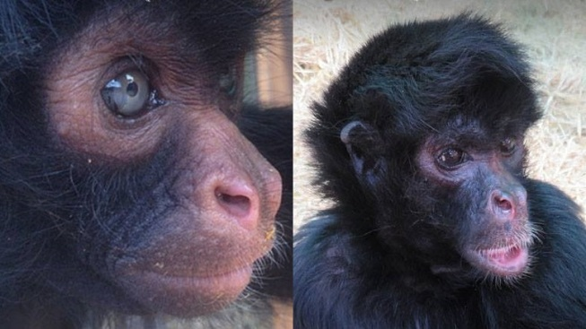Valentine's Sweet: Spider Monkey Pair Finds Friendship