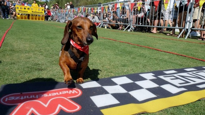 Squee: Dachshunds Dash at Wiener Nationals