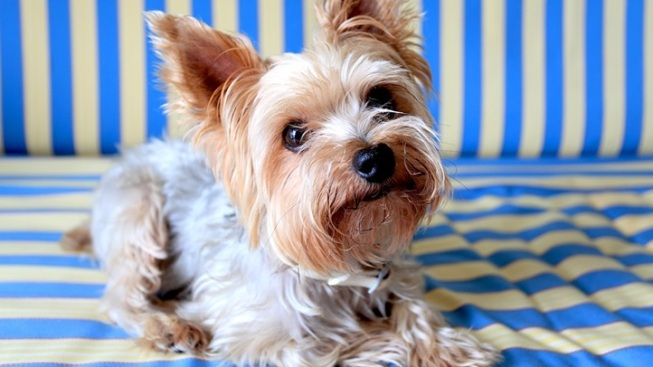 Yorkie Love: Marathon Podcast Fundraiser