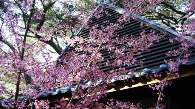 New later hours cherry blossom festival nbc southern - Descanso gardens cherry blossom festival ...