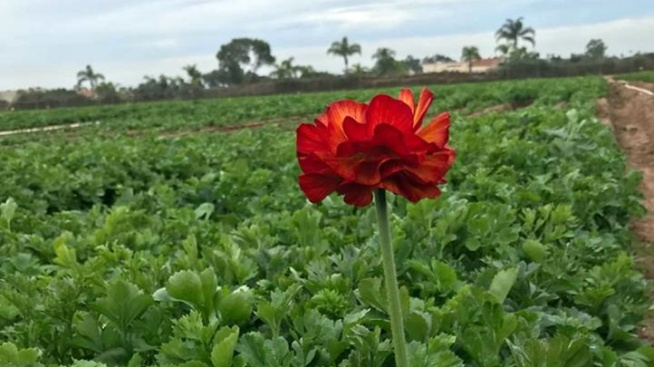 An Early Bloomer Says Hello at The Flower Fields