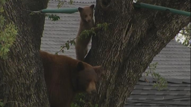 A big mother bear and two cute cubs spent the day in Altadena. Wildlife officials decided to let them head for the hills at their own pace. Conan Nolan reports for the NBC4 News at 5 p.m. on May 3, 2012.