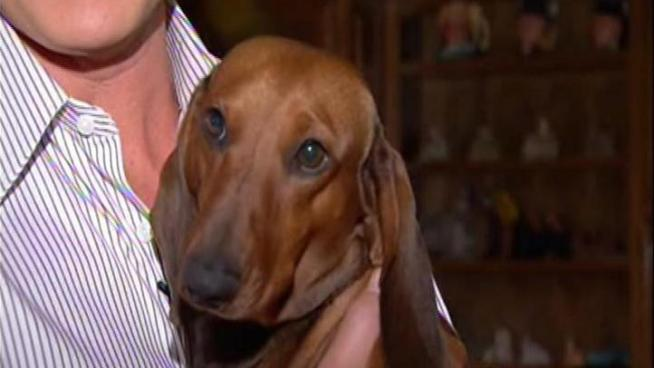 A Dachshund from Woodland Hills is heading to New York to compete in the prestigious Westminster Kennel Club Annual Dog Show.