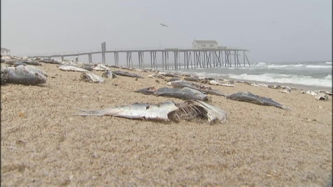Dead fish wash up along 3 miles of jersey shore nbc for Nj shore fishing report