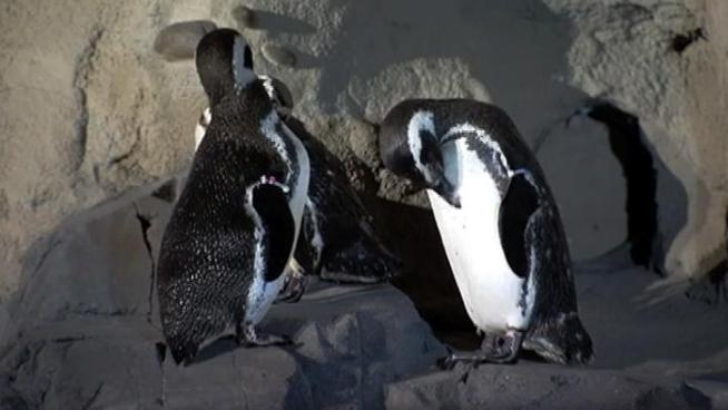 Michele Sousa, senior biologist at the Aquarium of the Pacific, talks about the new penguin habitat. John Cadiz Klemack reports from Long Beach.