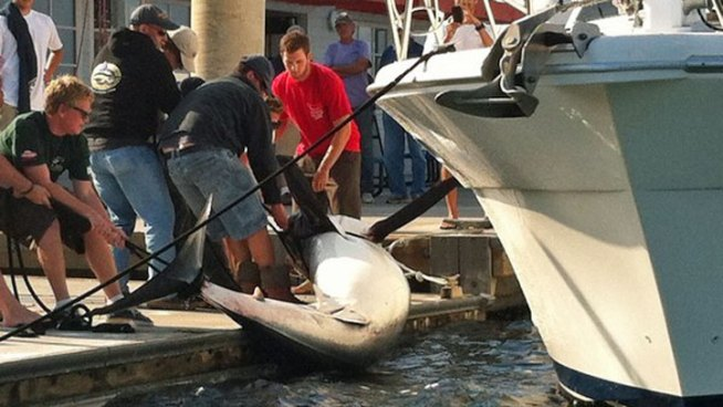 900-Pound Shark Brought in to Marina del Rey