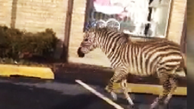 A wild scene unfolded on Staten Island Wednesday when a zebra and a pony were spotted running along a busy roadway after they apparently escaped from a Christmas tree seller.
