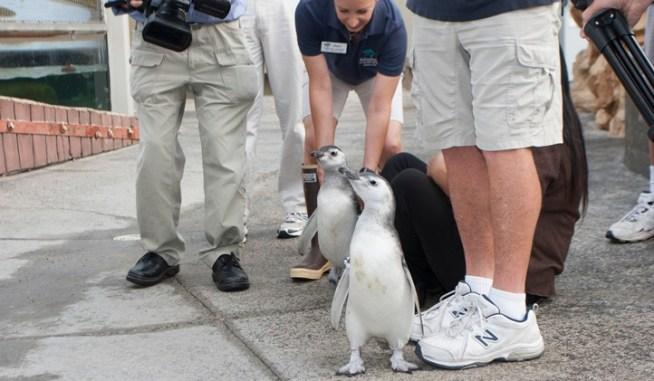 Aquarium Penguin Chicks Grow Up, Join Habitat