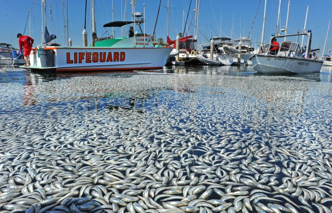 Sardines Go Belly-Up in Redondo Harbor