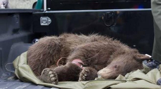 Black Bear Knocked Out While Roaming Santa Clarita Neighborhood