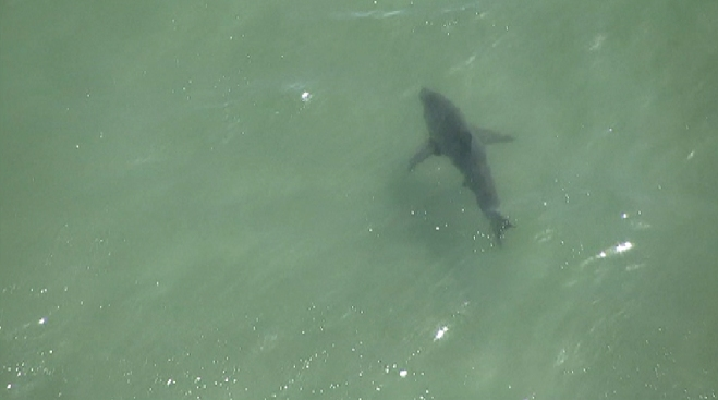 Four Sharks Spotted at Manhattan Beach