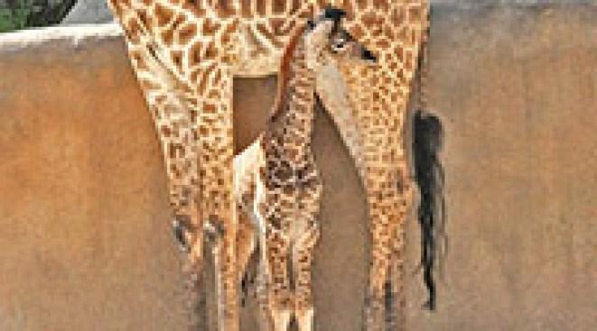 LA Zoo Unveils Healthy Baby Giraffe
