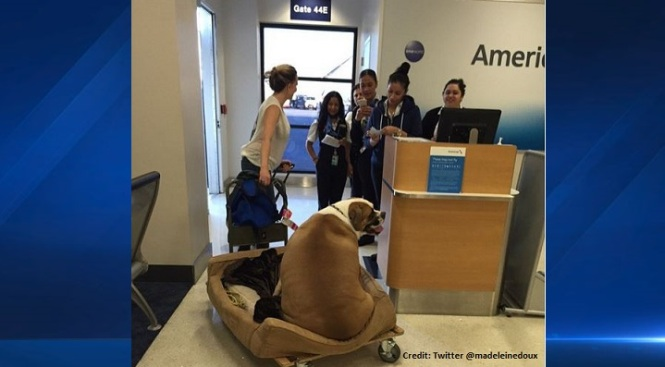 'Big' Dog at LAX Goes Viral as it Boards First Class Flight