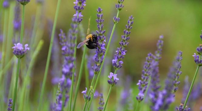 Luxuriate in Ojai's Lovely Lavender Lark