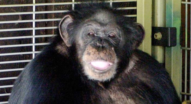 """I Didn't Give Him Xanax"" Chimp Owner Says"