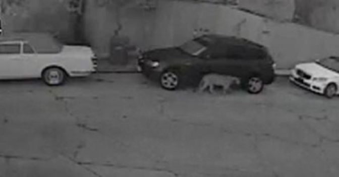 Hollywood Hills Mountain Lion in Search of Home, Mate