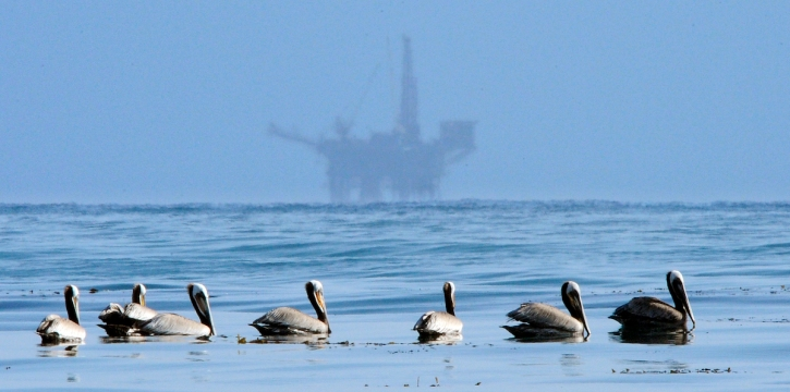 Pelicans Sick, Dying Along the Ventura, Santa Barbara Coast