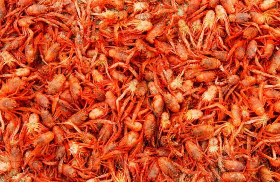 Mesmerizing: Pelagic Red Crabs at San Miguel