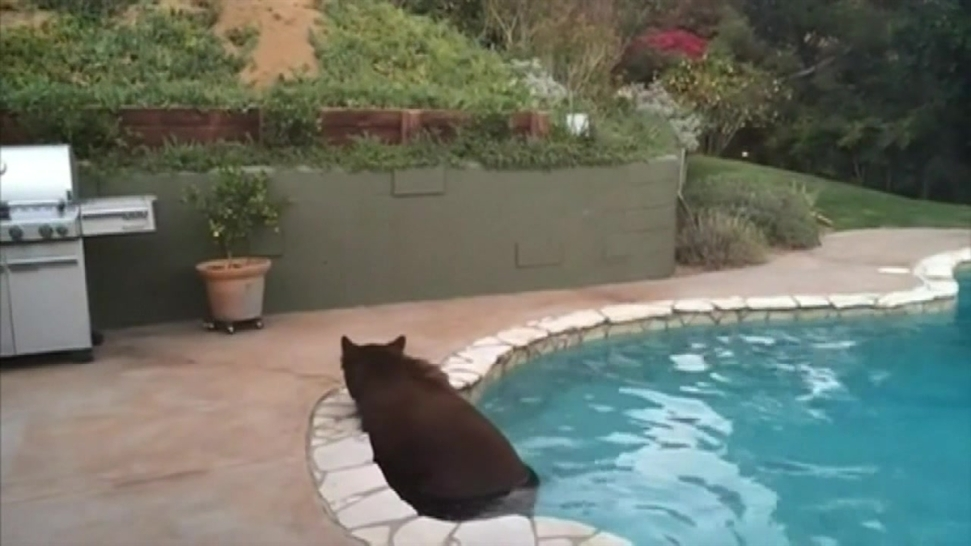 Bear Escapes Southern California Heat in Backyard Pool - NBC ... on pools for home, pools for the garage, pools for the summer,