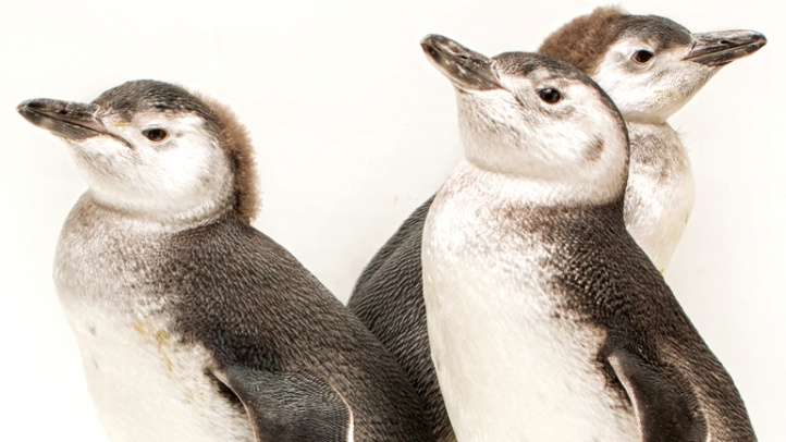 Fuzzy times three: See these sweeties at the June Keyes Penguin Habitat at the Aquarium of the Pacific.