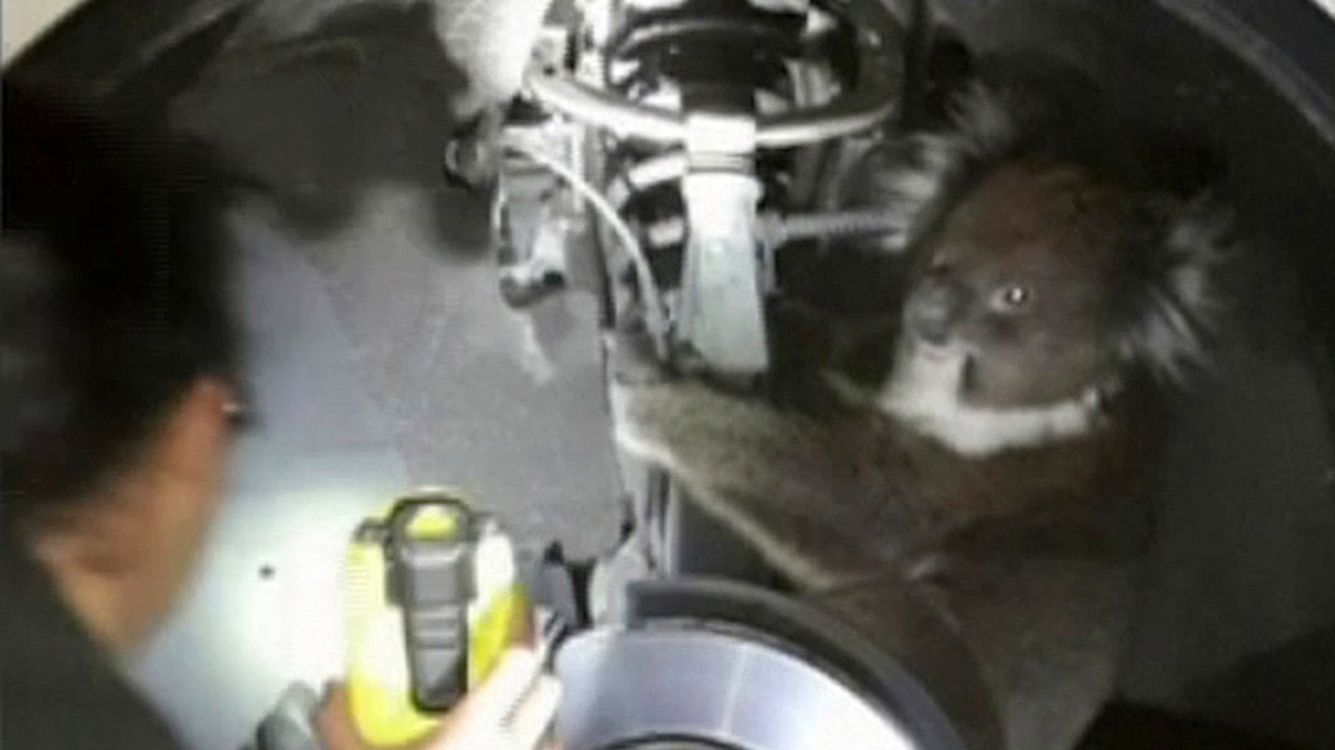 In this Sept. 9, 2017 image taken from a video, a worker uses a light near a koala in the wheel arch, in Adelaide, Australia. The koala survived a 16-kilometer (10-mile) trip in wheel arch.