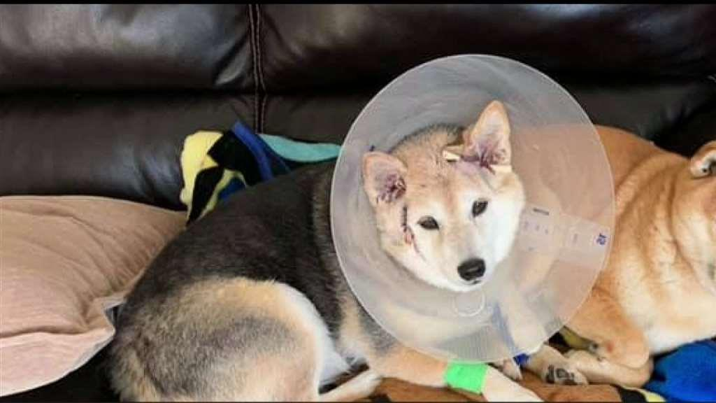 A dog was attacked by a coyote that jumped over a home's backyard in Valencia.