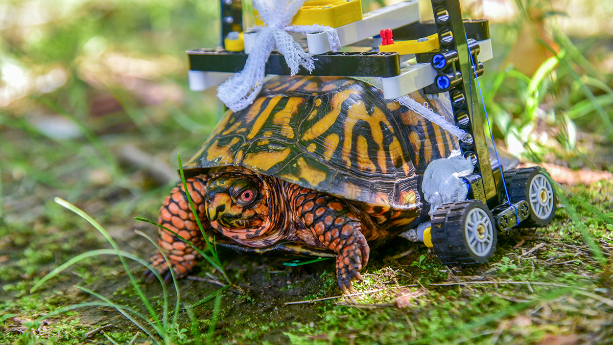 An injured turtle is riding in style thanks to zoo keepers at The Maryland Zoo. The wild eastern box turtle has been outfitted with a wheelchair made of Lego bricks.