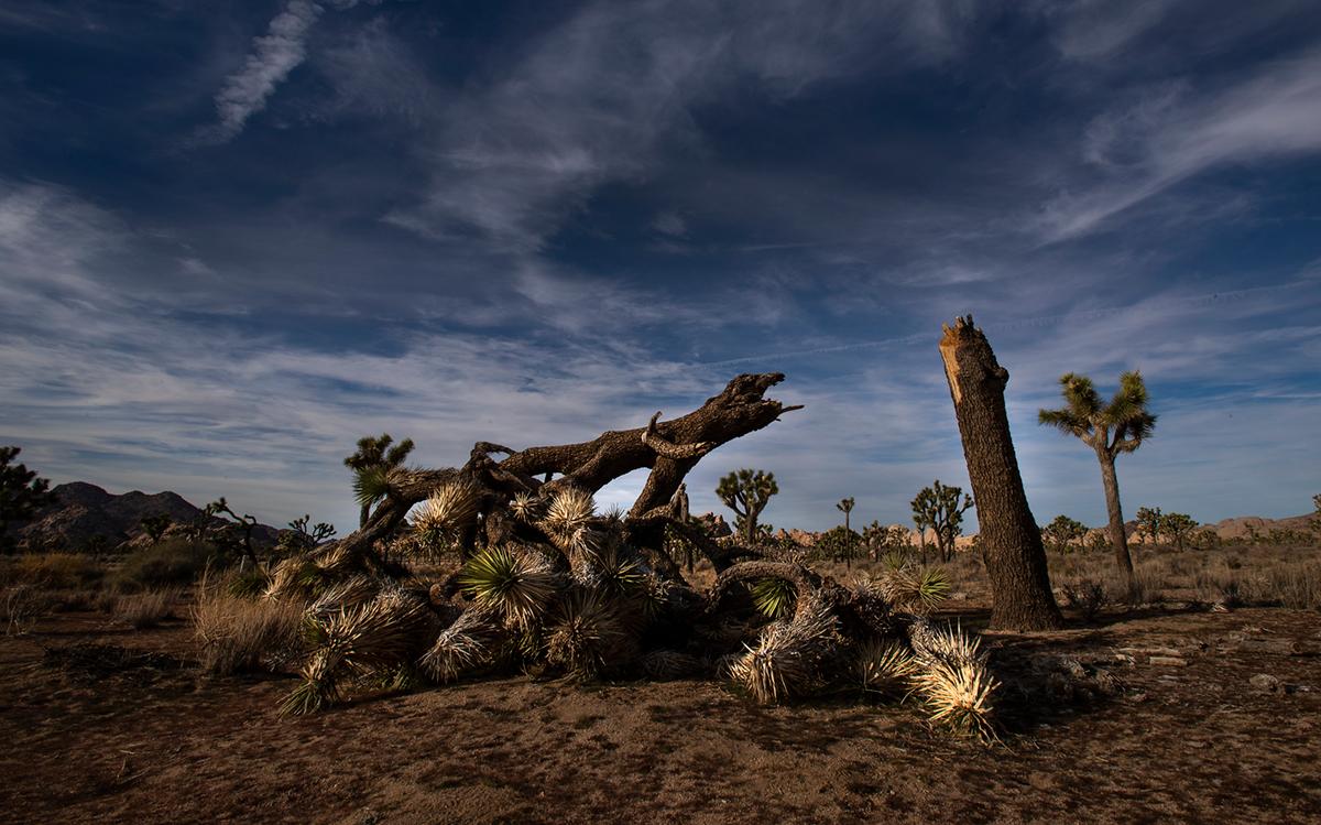 Joshua Tree National Park Damaged, Trees Toppled During Government Shutdown