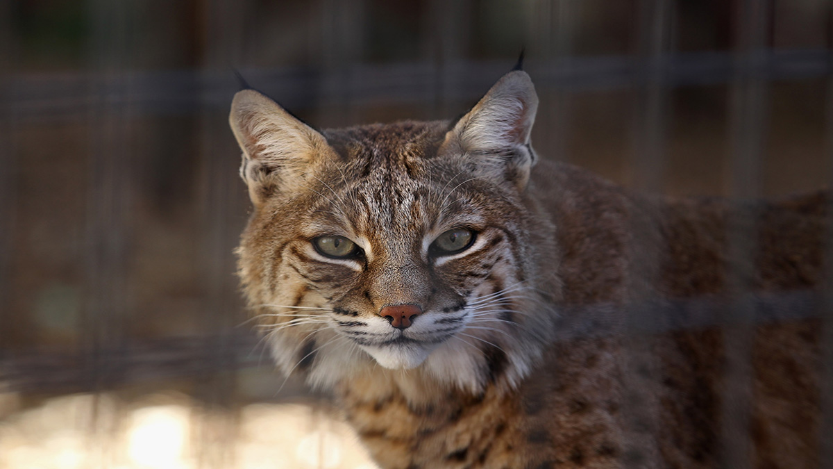 At Least Six Bobcats Have Been Struck and Killed by Vehicles in Three Months