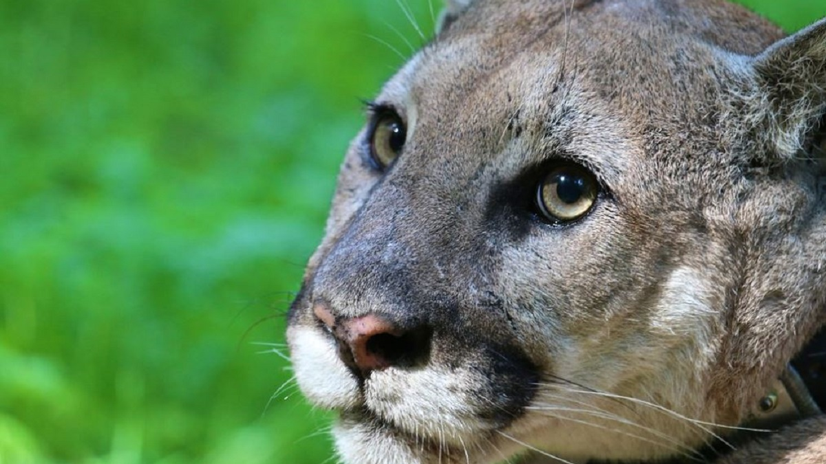 Man Accused of Shooting, Killing Mountain Lion P-38