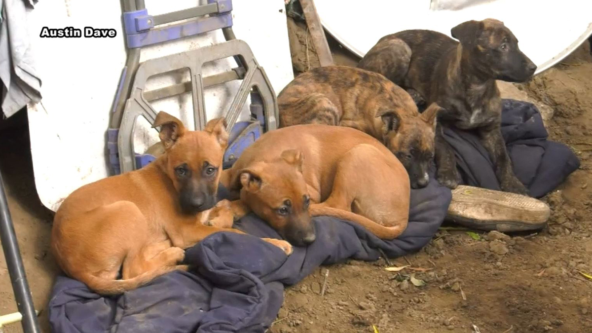 7 Puppies Found Abandoned in Cardboard Box in Valencia