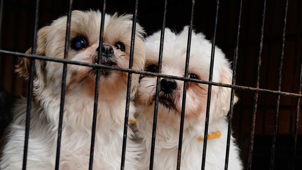 Two Shih Tzus that were rescued from a puppy mill cuddle in their cage in Toronto, Canada, in February 2013.
