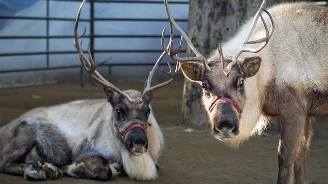 Reindeer are currently romping, and napping, and eating, and looking majestic at the Griffith Park animal park. Final date to see these beauties? Jan. 6, 2019.