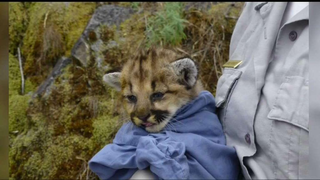 Rodent Poison Found in Dead Mountain Lion
